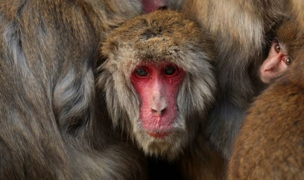 Japanese macaque monkeys huddle together in a group to protect themselves against the cold weather at Awajishima Monkey Center on January 18, 2014 in Sumoto, Hyogo Prefecture, Japan. Low temperatures has hit across Japan with more heavy snowfall in February.