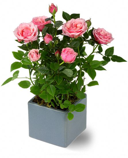 Miniature Rose Bush Plants