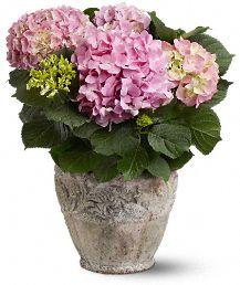 Pink Hydrangea Plants, Pink Hydrangea Plant Basket - Teleflora.com