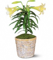 Easter Lily Plant Flowers