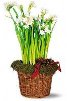 Narcissus tazetta papyraceus