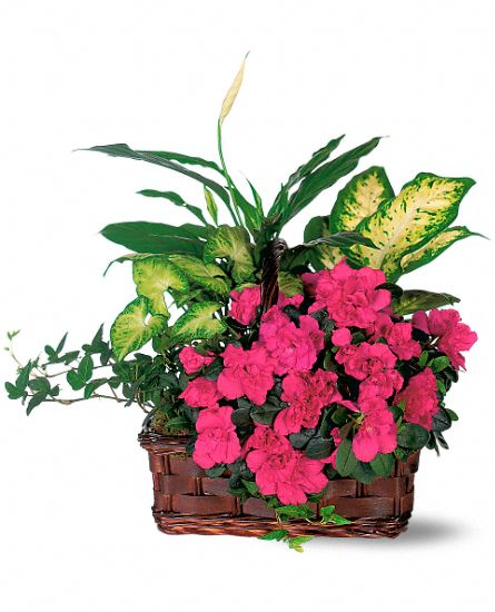 Azalea Attraction Garden Basket Plants