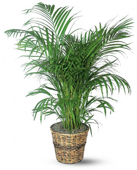 Areca Palm Plants