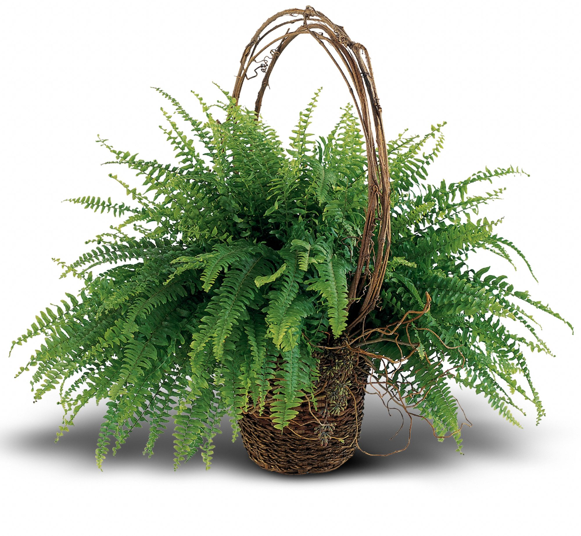 Faithful Fern