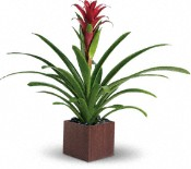 Teleflora's Bromeliad Beauty Plants