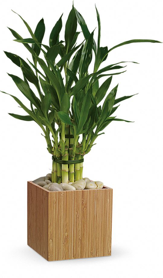 Teleflora's Good Luck Bamboo Plants