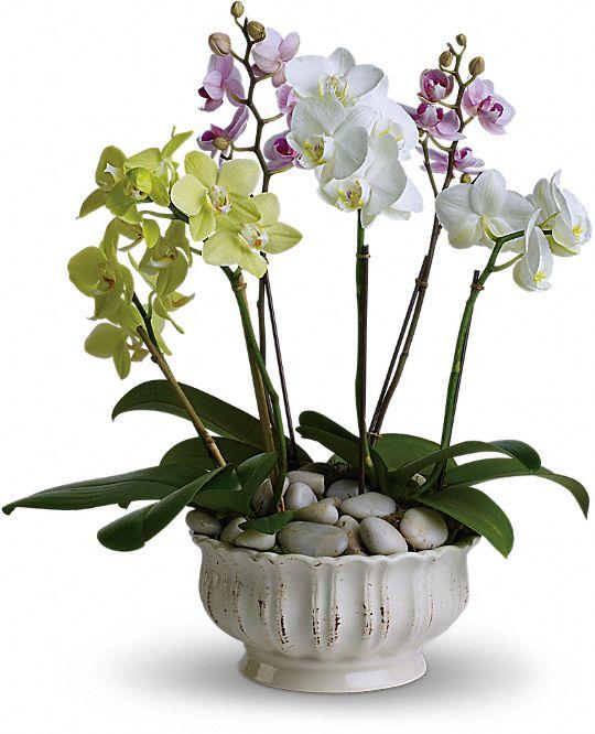 Regal Orchids Plants
