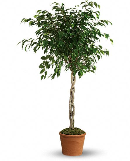Towering Ficus Plants