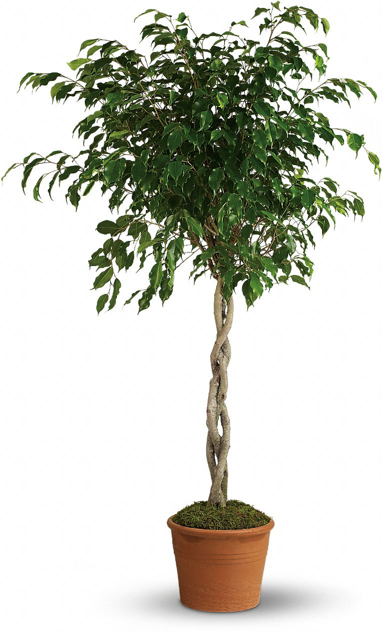 Towering Ficus Plants
