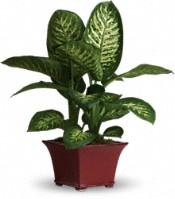 Plantes Délicieux dieffenbachia