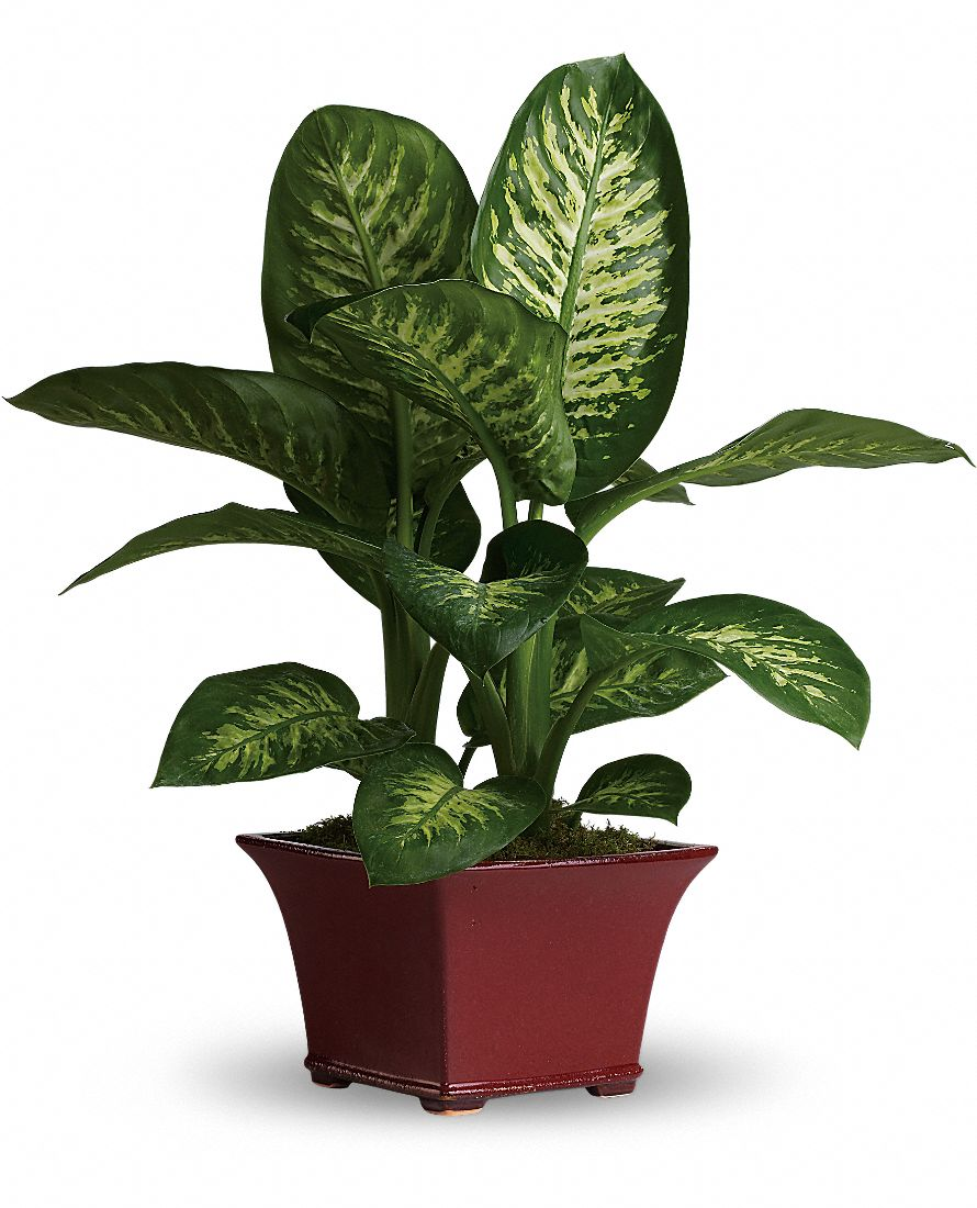 Dumb cane dieffenbachia house plant care picture - Name of house plants ...