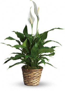 Petites plantes - Spathiphyllum Élégance pure