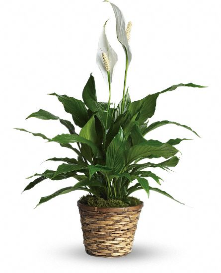 Simply Elegant Spathiphyllum - Small Plants