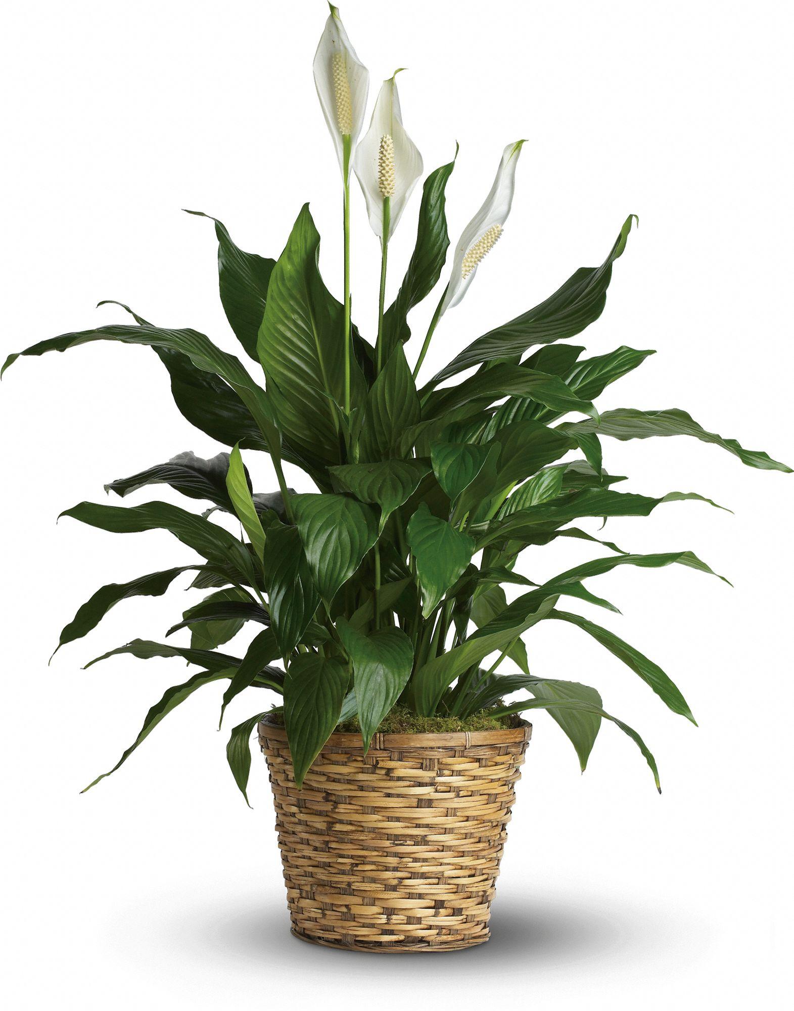The Plant Escape | Plants | Medium Light