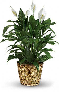 Grandes plantes - Spathiphyllum Élégance pure