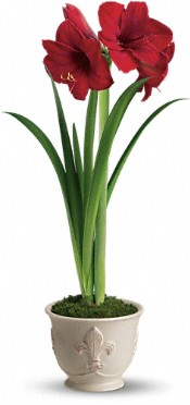 Teleflora's Merry Amaryllis Flowers