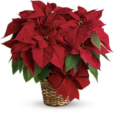 Shop for Poinsettias