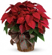 Large Red Poinsettia Plants