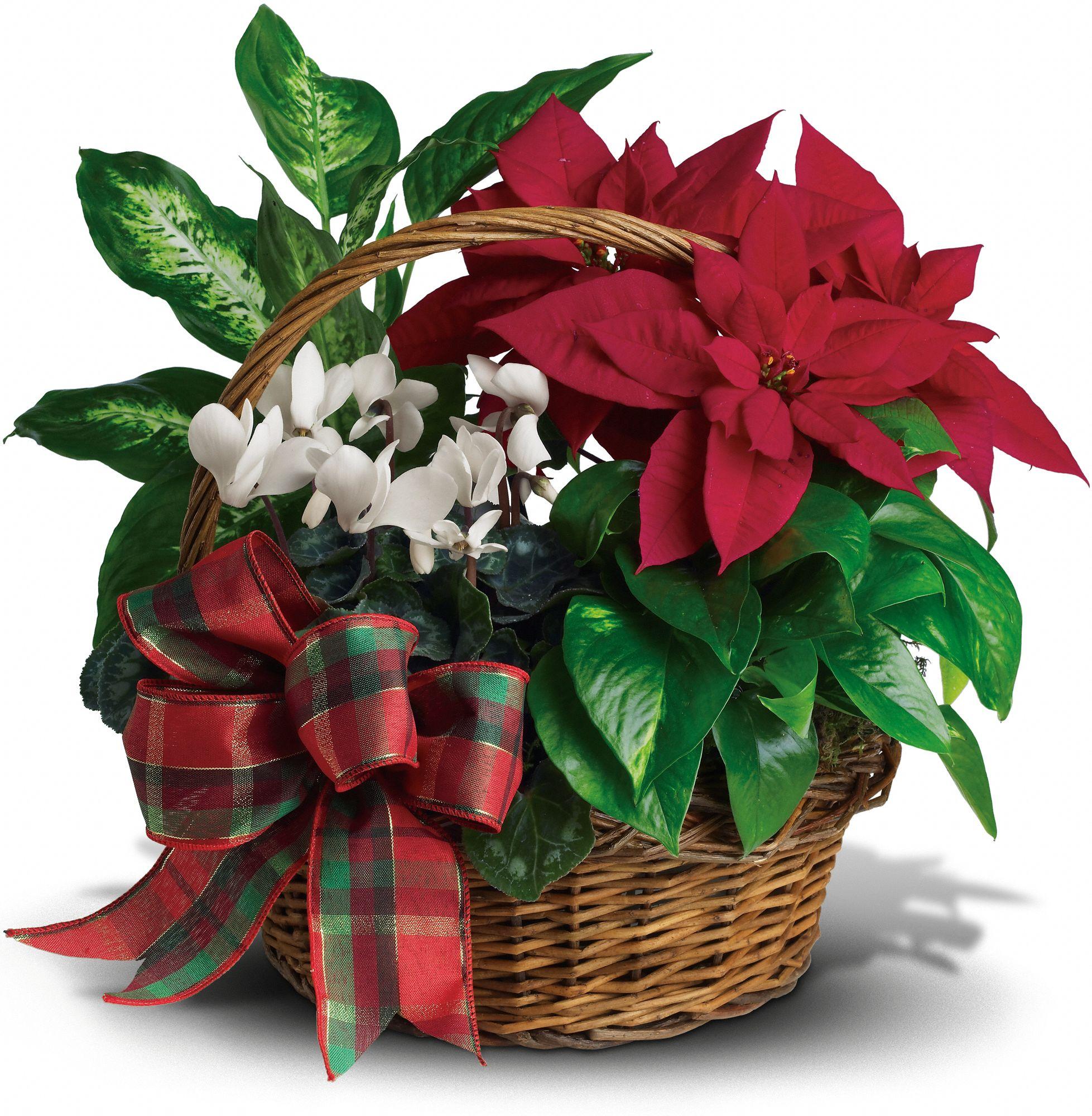 Holiday Homecoming Basket of Plants