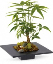 Money Tree Plants
