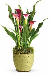 Spring Calla Lily  Plants