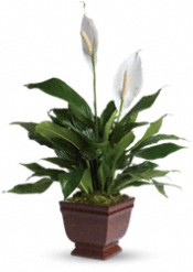 Lovely One Spathiphyllum  Plants