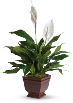 Teleflora's Lovely One Spathiphyllum  Plants
