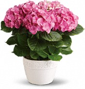 Hydrangée gaieté - Plantes roses