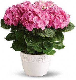 Happy Hydrangea Plant