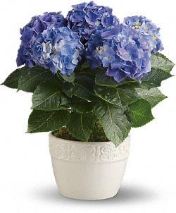 Plantes bleues - Hydrangée gaieté