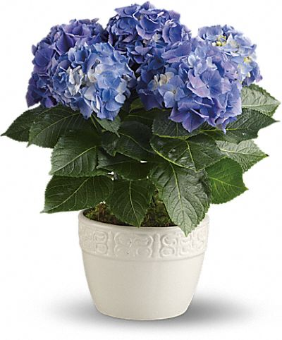 Shop for Hydrangea