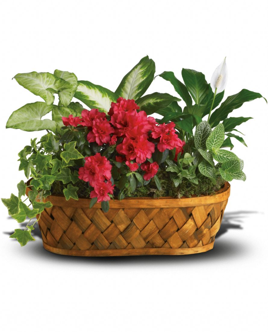 Buy flowering plants gifts - Flowers - Plants Galore