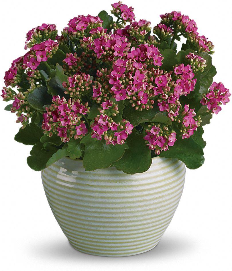 Bountiful Kalanchoe Plants