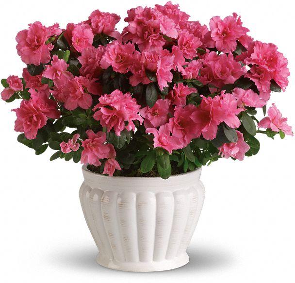 Pretty In Pink Azalea Plants
