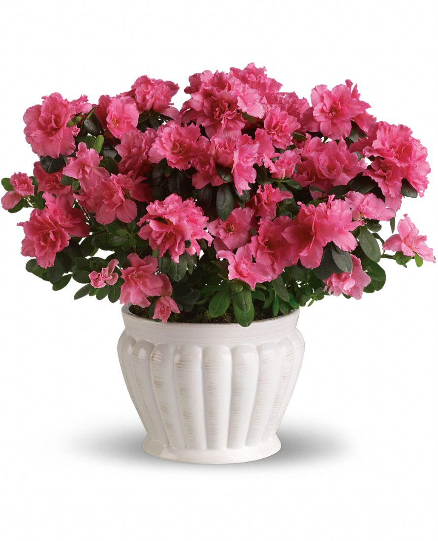 Indoor azalea care tips planting growing pruning azaleas - Care azaleas keep years ...