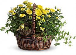 Yellow Trio Basket Plants