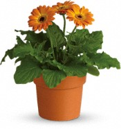 Rainbow Rays Potted Gerbera - Orange Plants