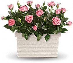 Plantes Sanctuaire de roses