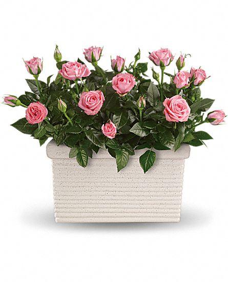 rose repose plants rose repose plant basket. Black Bedroom Furniture Sets. Home Design Ideas