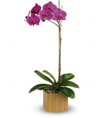 Teleflora's Imperial Purple Orchid Plants