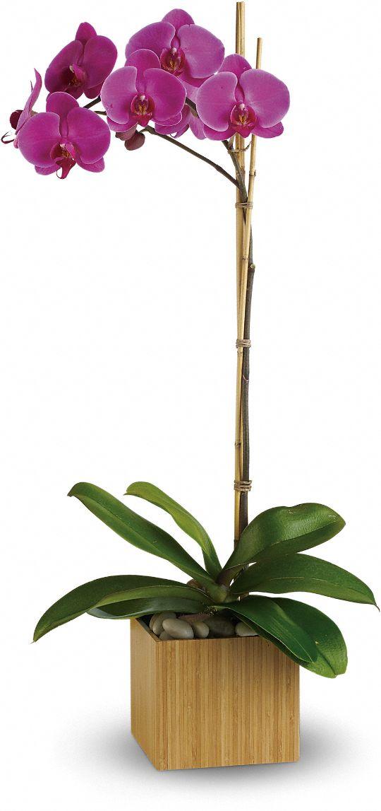 Teleflora's Imperial Purple Orchid Plants