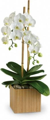 Teleflora's Opulent Orchids Plants