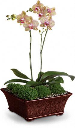 Orchidée divine