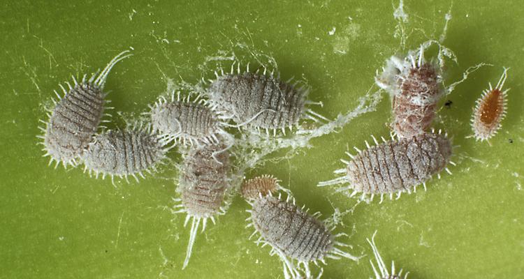 Mealy bugs in garden