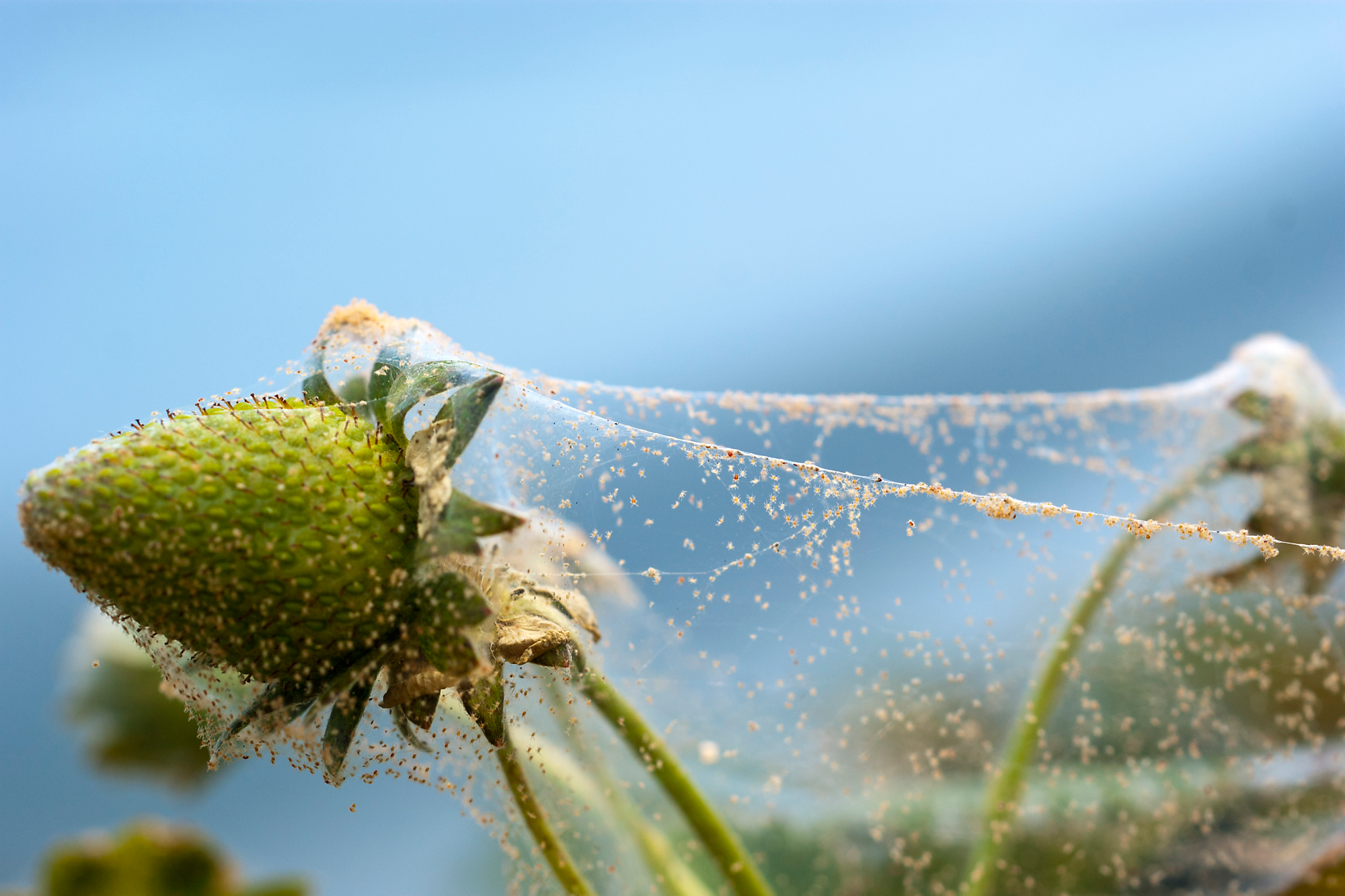Spider mite web on plant