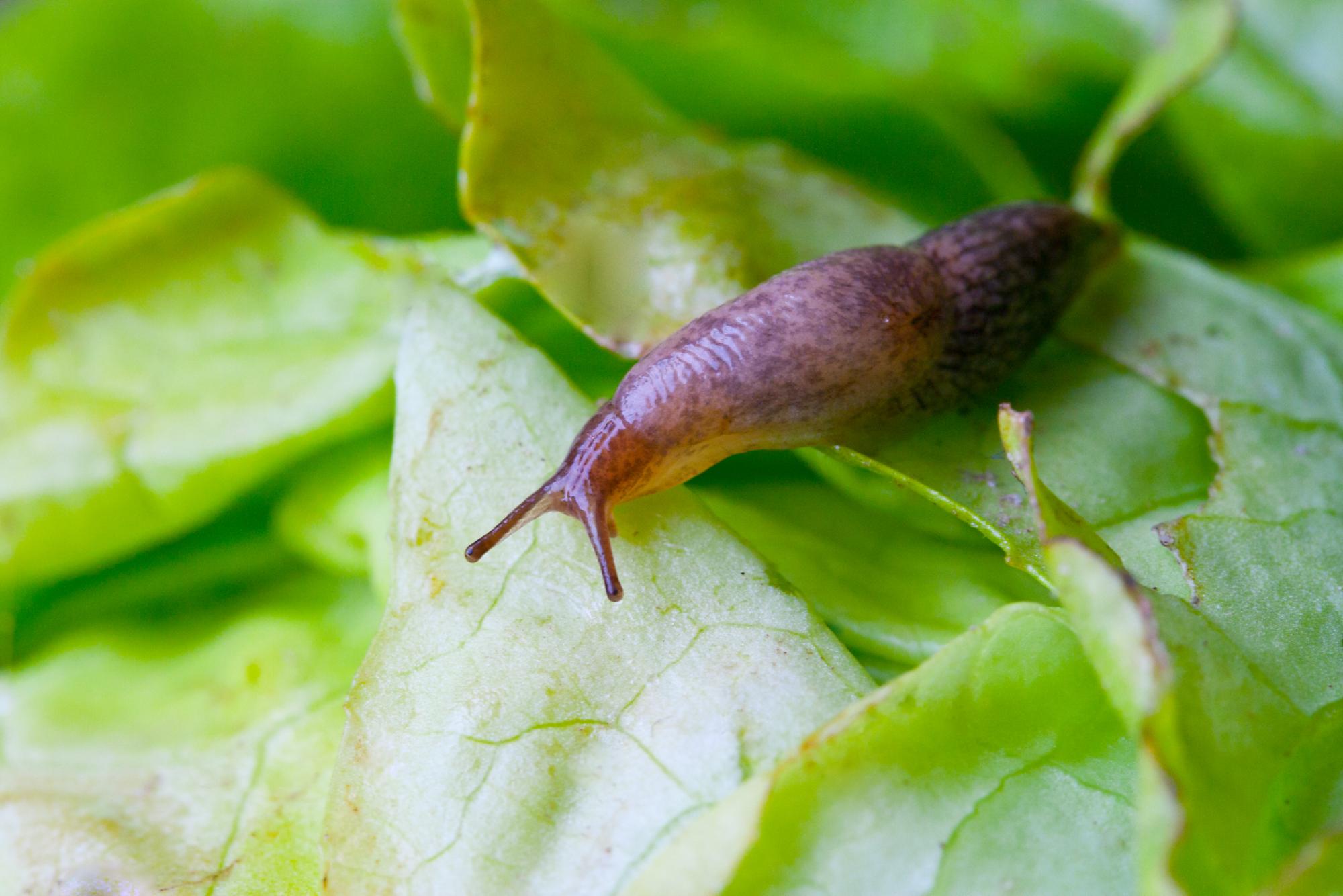 Slug eating lettuce