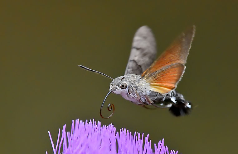 Hummingbird Hawk Moth Facts Insects In Education