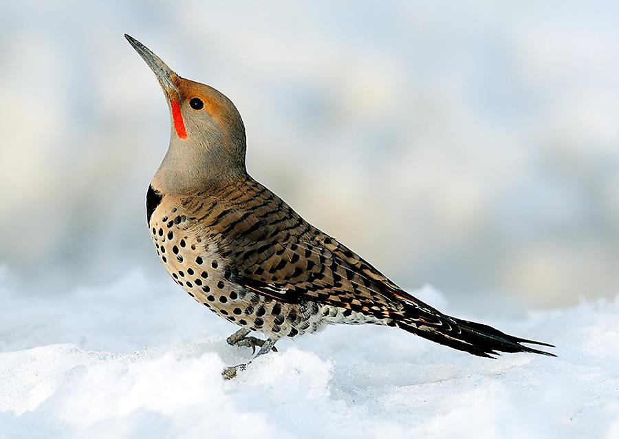 winter bird feeding northern flicker
