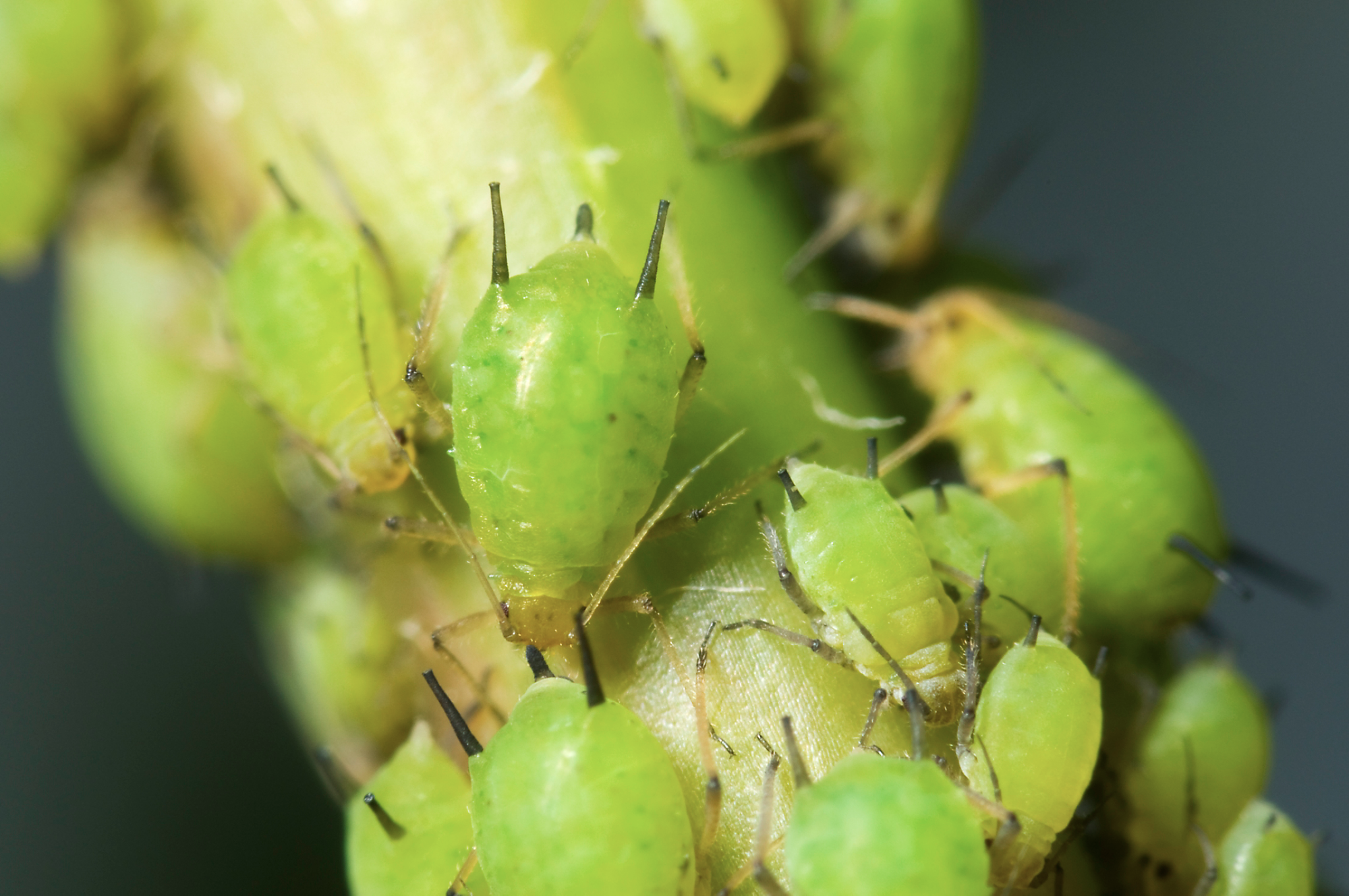 Aphids on stem
