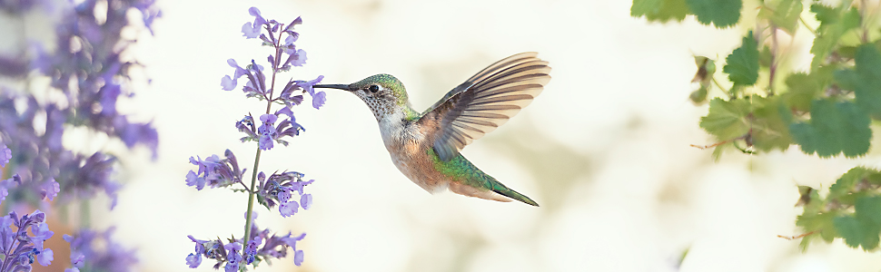 hummingbird drinking nectar from purple flower